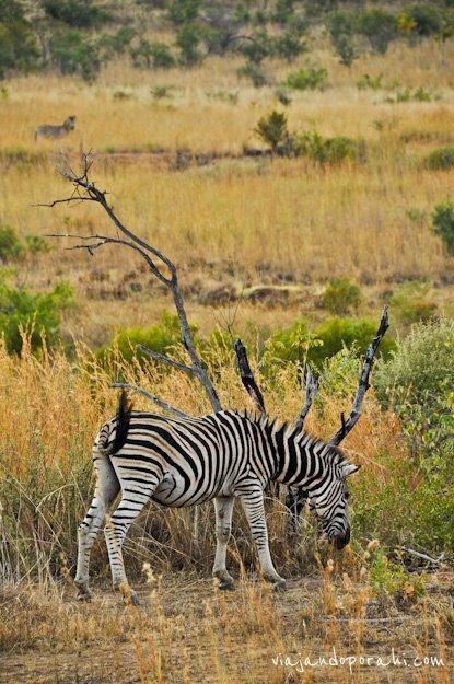 safari-sudafrica-11