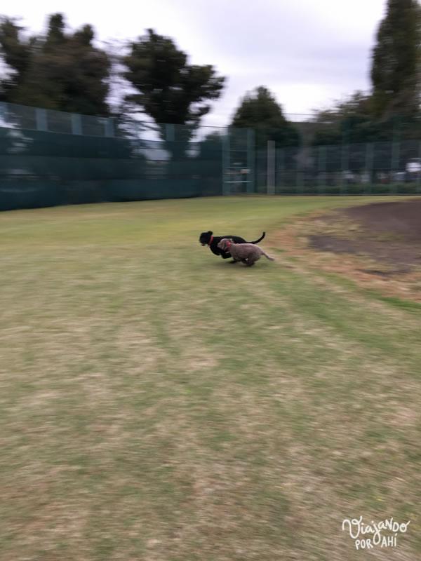 En realidad está prohibido que los perros entren a la cancha de baseball, pero ellas aprovecharon una distracción nuestra para entrar por la reja y correr en círculos.